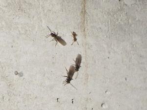 床下で確認されたサクラアリとその羽アリ