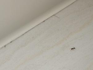 室内を徘徊するトビイロシワアリ
