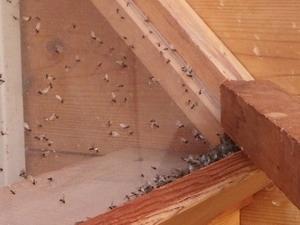 窓に堆積した羽アリ死骸