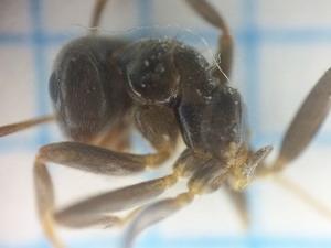 蟻道はクロクサアリによって形成されました