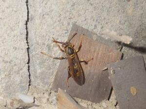床下で越冬するアシナガバチ