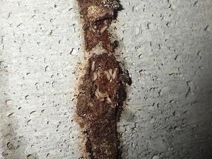 蟻道内で薬剤曝露したシロアリ