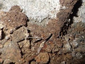 蟻道内で活動中のヤマトシロアリ