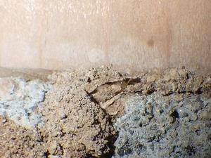 土台の蟻道内で活動するシロアリ
