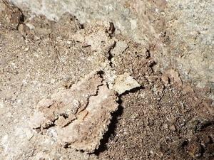 蟻道内で活動中のシロアリ
