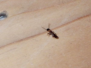 徘徊する落翅虫