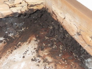 畳下で活動中のシロアリ