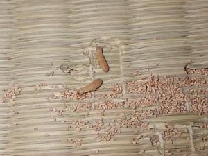 タンスの下で確認されたアメリカカンザイシロアリ
