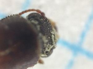 アフリカヒラタキクイムシ頭部